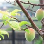 人気の梅ジュースの簡単な作り方を紹介!最適な時期や賞味期限について