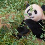 上野動物園のパンダが見れる時間!歴代の名前や餌と起きてる時も